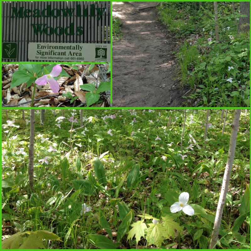 Meadowlily Woods Trilliums (4)