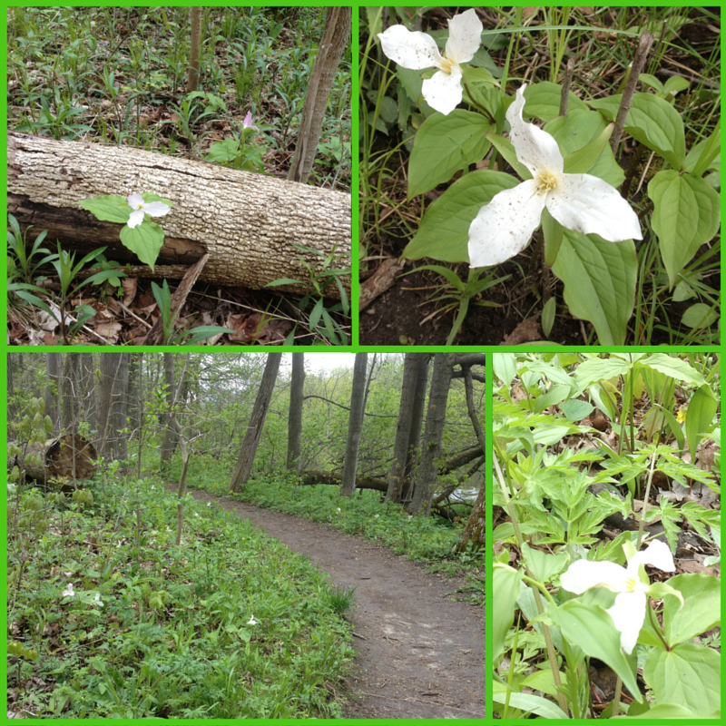 Trilliums on the Trail Side (1)