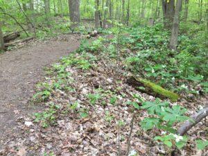 Trailside Trilliums