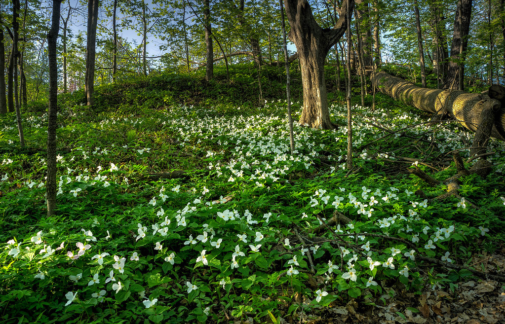 See the Trilliums While You Can